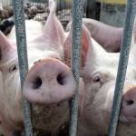Россия заблокировала создание арбитража по спору с ЕС из-за свинины